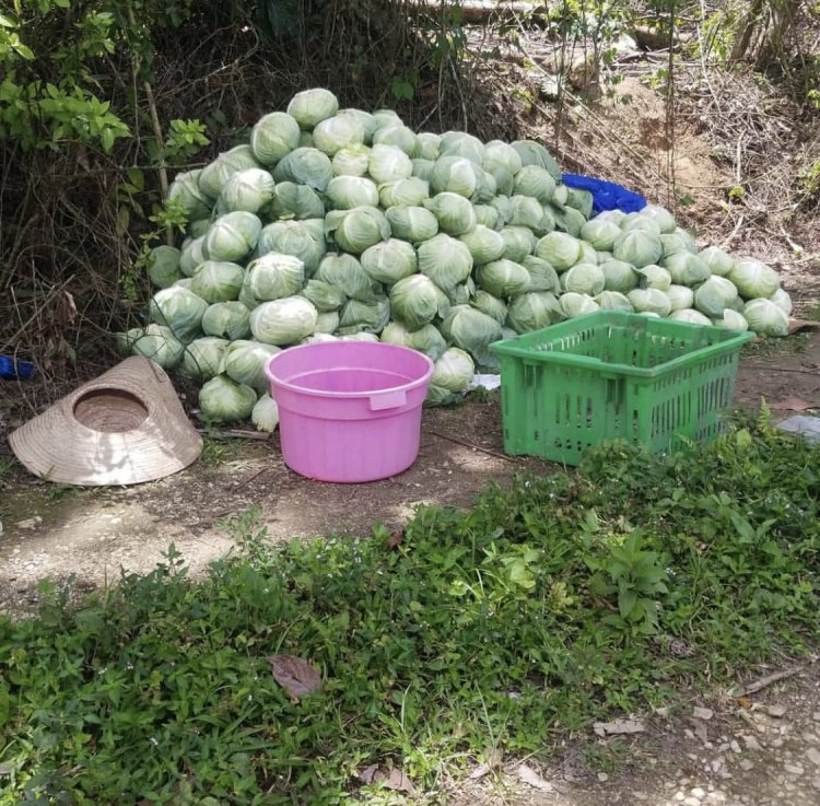 Farmer Girl Jessie' Wants Market For Her  Cabbages  Harvested