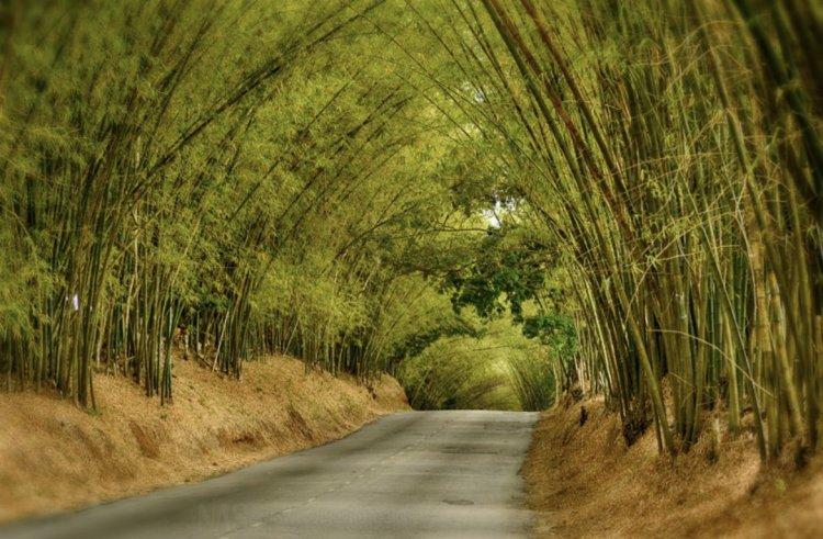 Holland Bamboo